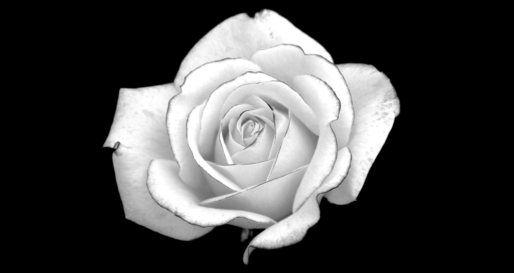 white-rose-black-backgroundwhite-rose---pentax-user-photo-gallery-is9wjxbt